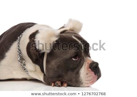 голову Американский бульдог несут Хэллоуин белый собака Сток-фото © feedough