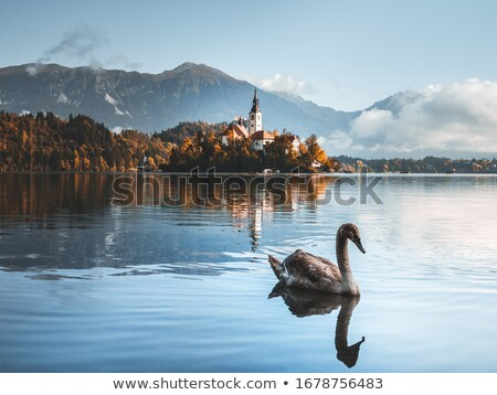 swan in foggy morning stock photo © givaga