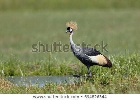 Grey crowned crane bird by the pond Stock photo © boggy