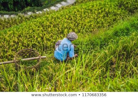 Balinese Worker on Green cascade rice field plantation at Tegalalang terrace. Bali, Indonesia Stock photo © galitskaya
