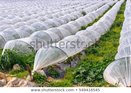 Growing of strawberries under low polyethylene tunnels Stock photo © boggy