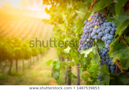 Lush Wine Grapes Clusters Hanging On The Vine Stock photo © feverpitch