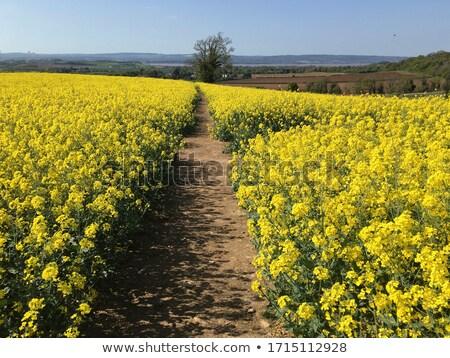 footpath through yellow flower farm Stock photo © Ansonstock