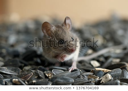 Rodent Stock photo © emiddelkoop