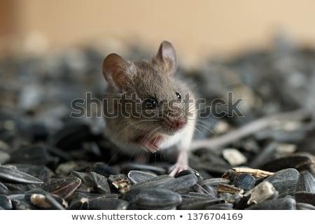 齧歯類 · 森林 · 自然 · 公園 · 毛皮 · ブラウン - ストックフォト © emiddelkoop