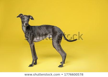 Galgo cão 18 meses velho sessão Foto stock © vlad_star