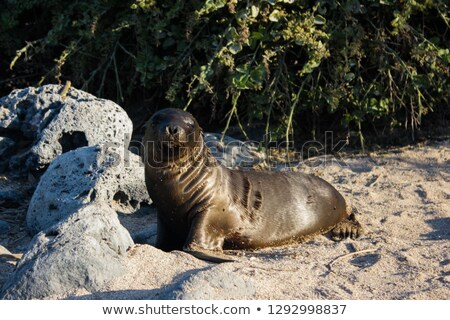 Winking Sea Lion On Rock Stock photo © saje