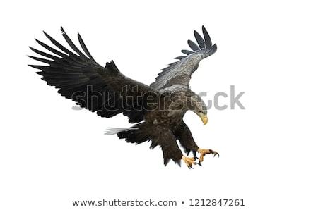 Vadászat sas kar repülés szárnyak égbolt Stock fotó © vadimmmus