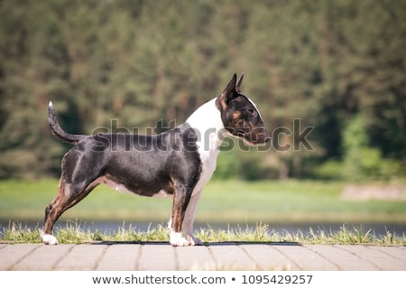 Noir Bull terrier Photo stock © arturasker