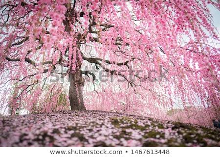Japonya · erik · bahar · çiçek - stok fotoğraf © Lessa_Dar