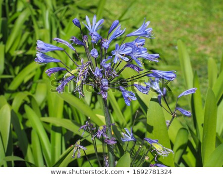 African Lily's Withered Flower Stock photo © eldadcarin