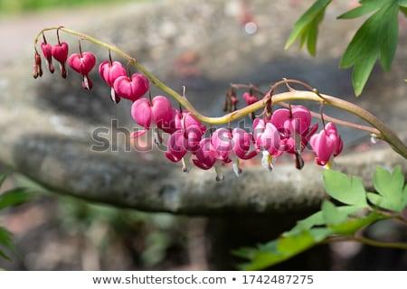 pink bleeding hearts flowers stock photo © saddako2