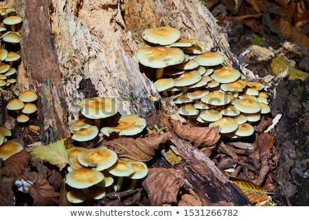 токсичный · грибы · группа · осень · зеленая · трава · сторона - Сток-фото © elenarts