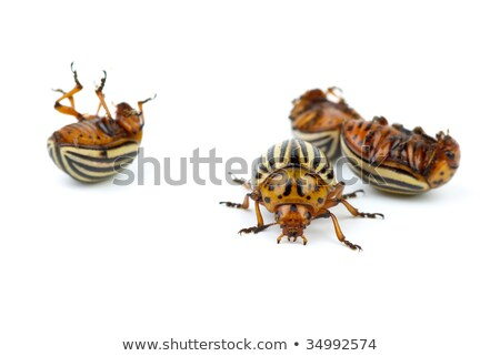 One alive and three dead colorado potato beetles Stock photo © digitalr