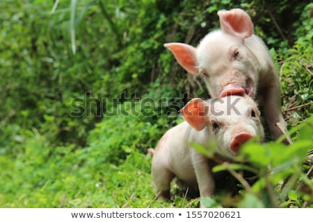 Cute weinig varken big outdoor zomer Stockfoto © juniart