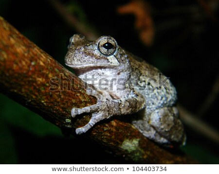 Grey Tree Frog on a Leaf Stock photo © ca2hill