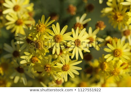 Jacobaea vulgaris, ragwort or benweed Stock photo © Arrxxx