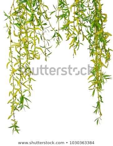 Closeup of a willow tree catkin  stock photo © sarahdoow