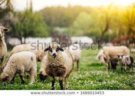 Nyáj birka tavasz legelő eszik fű Stock fotó © CaptureLight