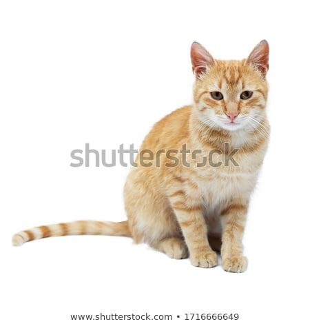 A Tabby Kitten on White stock photo © dnsphotography