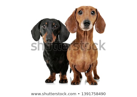 two dachshunds Stock photo © cynoclub