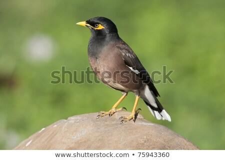 Sous-continent indien nature oiseau noir couleur blanche Photo stock © bdspn
