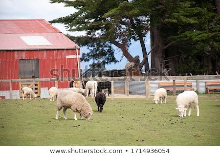 Stok fotoğraf: Koyun · ahır · bakıyor · dışarı · arkasında · çit
