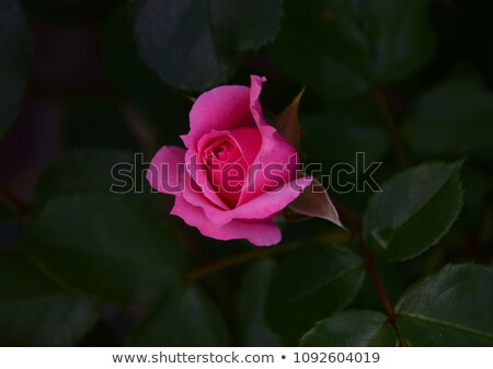 Rózsaszín rózsabimbó kert virág rózsa levél Stock fotó © elly_l