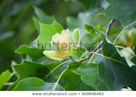 Tulip · дерево · цветок · розовый · цветок - Сток-фото © rmbarricarte