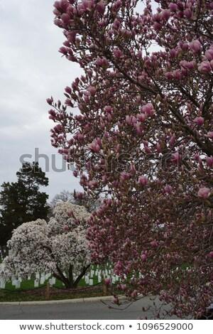 Cherry · Blossom · cmentarz · wojskowych · żołnierzy · wojna · domowa · wojny - zdjęcia stock © rmbarricarte