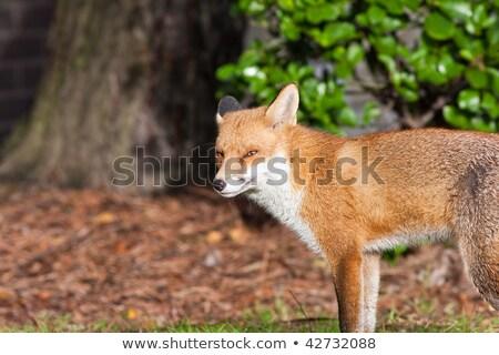 красный Fox листьев дерево лице трава Сток-фото © rekemp