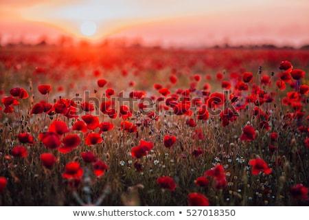 Zdjęcia stock: Dziedzinie · czerwony · maki · Błękitne · niebo · niebo