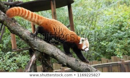 vermelho · panda · escalada · árvore · jardim · zoológico · tenha - foto stock © juhku