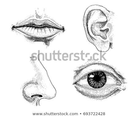 figo · chicote · língua · vintage · gravado · ilustração - foto stock © morphart