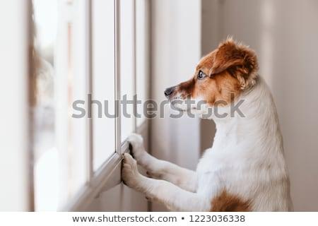 собака глядя из окна французский бульдог Сток-фото © OleksandrO