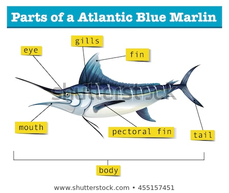 diagram showing parts of atlantic blue marlin stock photo © bluering