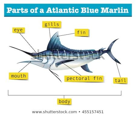 Diagram showing parts of atlantic blue marlin Stock photo © bluering