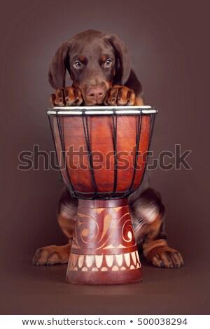 Bella rosolare doberman cucciolo tamburi studio Foto d'archivio © goroshnikova