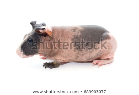 Sovány tengerimalac állat fül rózsaszín orr Stock fotó © joannawnuk