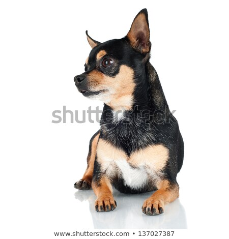 cute mixed breed dog with a toy lying in black studio Stock photo © vauvau