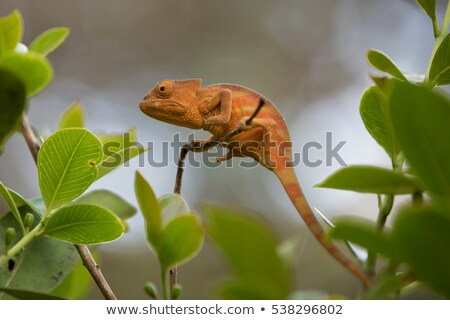 perinet chameleon calumma gastrotaenia madagascar stock photo © artush