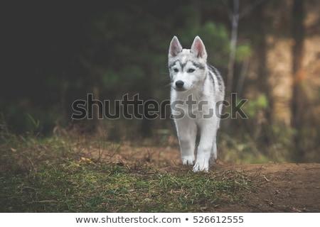 Husky щенков улице зима снега глаза Сток-фото © OleksandrO