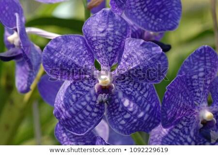Bella viola orchidea tropicali fiori blu Foto d'archivio © TasiPas