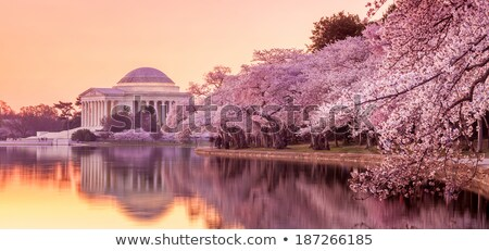 washington monument pink cherry blossoms dc usa stock photo © qingwa