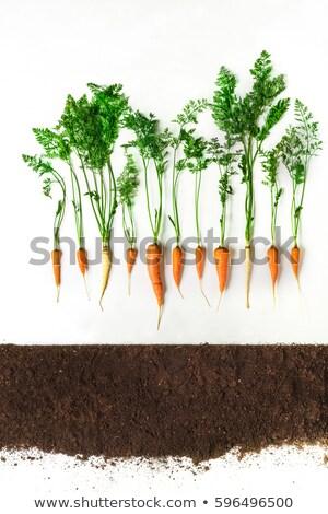 ニンジン · 地上 · 成長 · 土壌 · 背景 - ストックフォト © popaukropa
