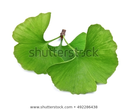 ginkgo biloba isolated stock photo © lightsource