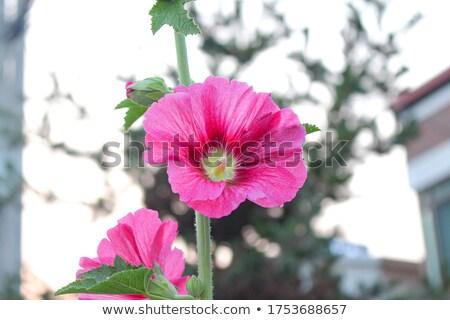 Virág tele rózsaszín növényvilág növekvő felfelé Stock fotó © Klinker