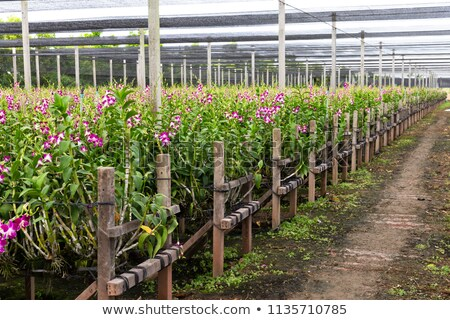 orchidea · farm · rózsaszín · virág · virágcsokor · szár · üvegház - stock fotó © Yongkiet