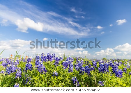 Stock photo: Field of Bluebonnets
