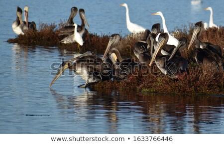 Pelican Bird on Small Island Stock photo © bluering